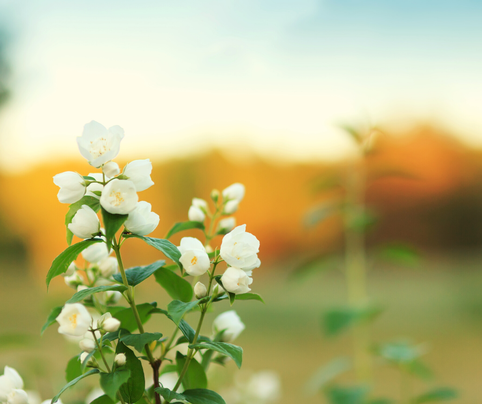 Jasmine Essential Oil for Happiness  and Self-Confidence